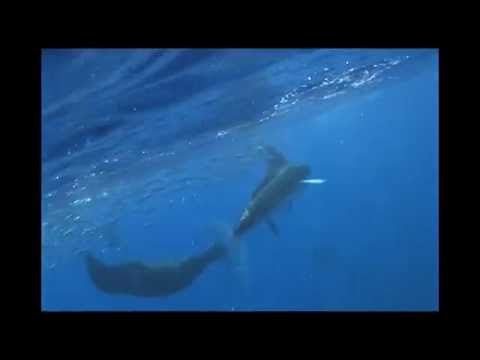 Feeding Striped Marlin VS Bryde's Whale