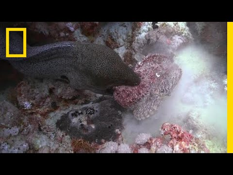 The Battle Between Eel and Stonefish Is One-Sided | National Geographic