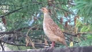 Teetar Bird(Grey francolin)Calling His Mate
