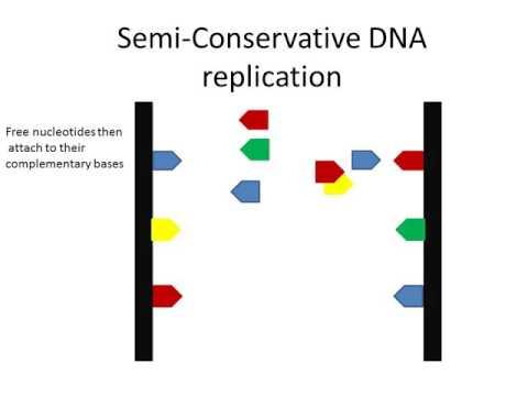 Semi Conservative DNA Replication