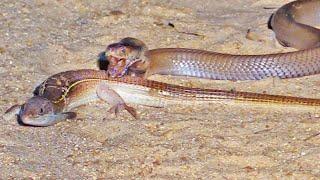 Battle Between Cobra and Lizard