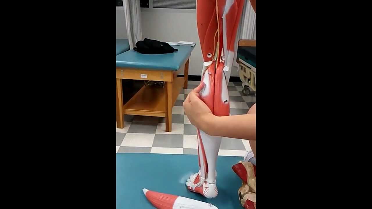 Knee Muscles Youtube