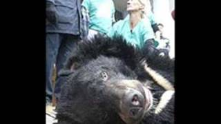 The Farming of Bear Bile..