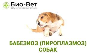 Бабезиоз (пироплазмоз) собак. Ветеринарная клиника Био-Вет.