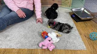 Maggie's schnoodle puppies January 19, 2021 THIS LITTER IS SOLD
