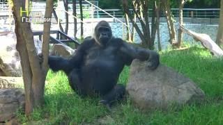 Угощение для гориллы Тони. Киевский зоопарк(, 2016-07-19T10:27:54.000Z)