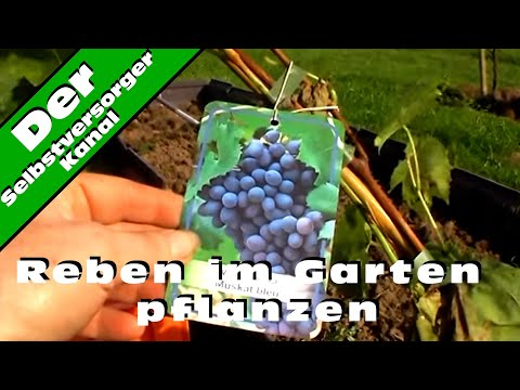 Reben Im Garten Pflanzen