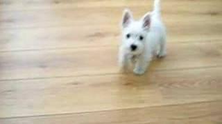 Yuki My Westie Pup 18