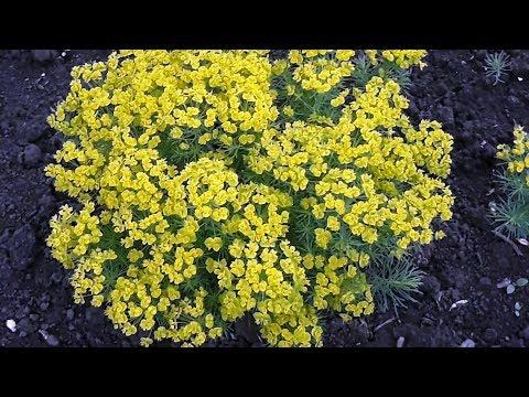 Молочай кипарисовый Euphorbia cyparissias  Обзор и краткое описание характеристик
