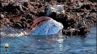 Chuyện lạ có thật - Động đất sẽ xảy ra khi loài cá kì dị này xuất hiện - Chuyện lạ thế giới 365