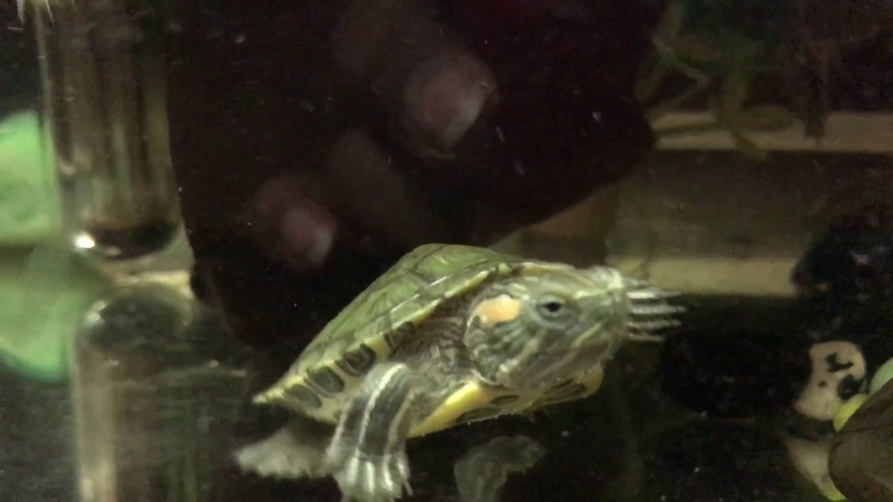 Meet Our Pet Turtles - YouTube