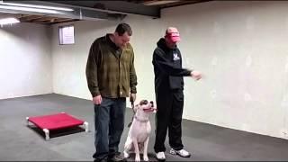 Boxer Leash Training