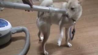 ずっと見てられる安定感。おばあちゃんと柴犬の「和み動画」に癒やされる