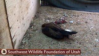 Eagle Arrived Unconscious