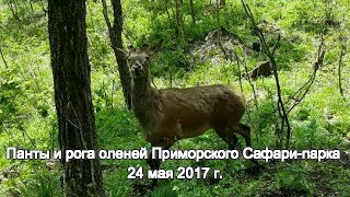 Панты и рога оленей Приморского Сафари-парка 24 мая 2017 г.