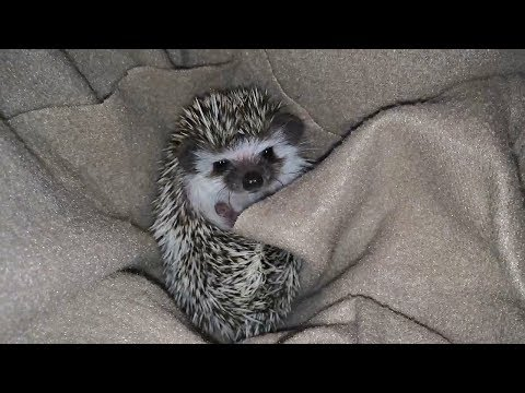 Baby Hedgehog Wakes Up From a Nap