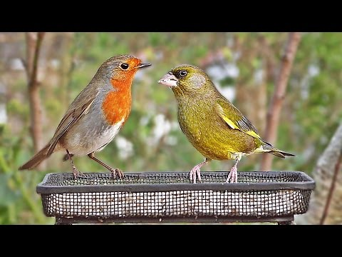 Movies for Cats to Watch : UK Garden Birds