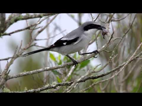 Loggerhead Shrike - the Butcher Bird in action