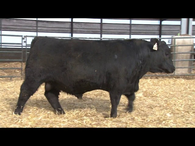 Schiefelbein Angus Farms Lot 8