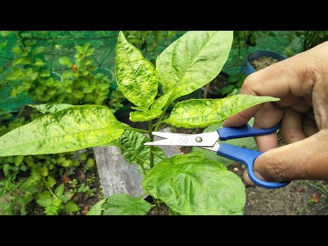 How to make chili hold more fruits   pruning chili pepper plants – my agriculture