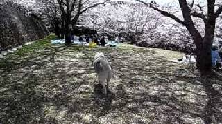Beautiful Cherry Blossoms Park In Japan, And Siberianhusky Hana