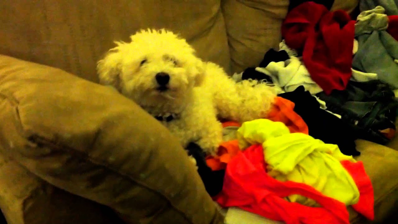 Tim Deegan Mattress Dog Loves Laundry More Than Bed Dawson Youtube