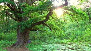 Nightfall in Ancient Forest - Sababurg - Germany