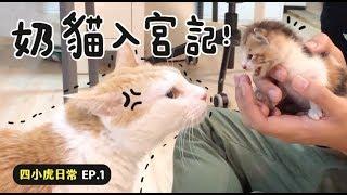 【黃阿瑪的後宮生活】奶貓入宮記四小虎日常EP.1