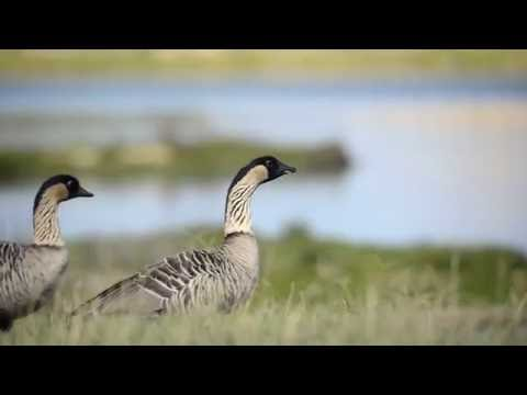 A pair of nene (Hawaiian goose)