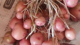 Potato  virus free  and high yield  tissue  culture  seed.