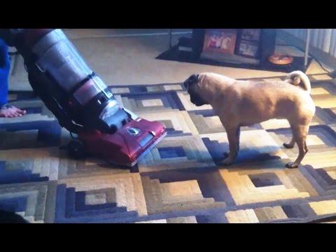 'Pugs vs. Vacuum Cleaners Compilation' || CFS