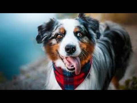 FUNNIEST AUSTRALIAN SHEPHERD VIDEOS/best Dog Compilation/funny Animal World/2018