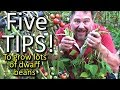 5 Top Tips How To Grow A Ton Of Dwarf Beans In A Small Raised Garden Bed Or Container mp3