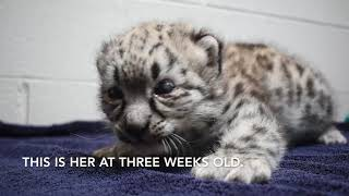 Akron Zoo welcomes baby snow leopard