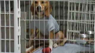 ビーグル犬のマルボイは、ピアニカの演奏を聴くと歌います。