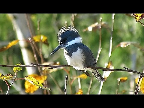 Belted Kingfisher Call, Rattle (at 0:45)