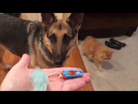 Odin & the Manx Get a New Toy