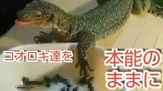 【超絶閲覧注意】ペットのオオトカゲにコオロギ50匹を与える動画です。 ...