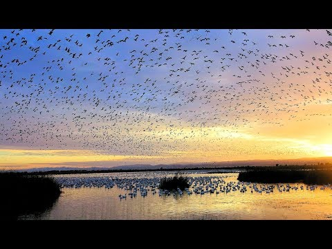 Sacramento National Wildlife Refuge Snow Geese Fly Out ( 2017-11-14 )