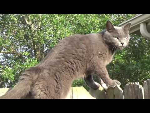 Russian Blue and Siamese Cats playing with mouse very funny