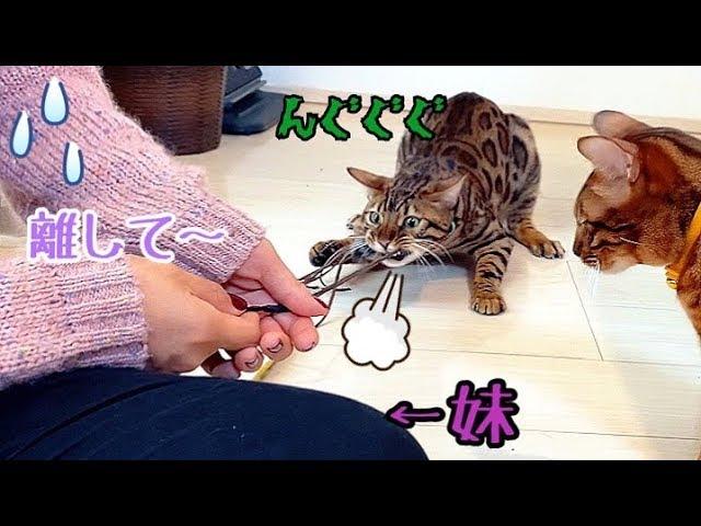 妹vs野生化したベンガル猫ノア!力強過ぎっ!