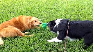 Draco 8 Month Old Border Collie Playing With Ben The Golden Retriever