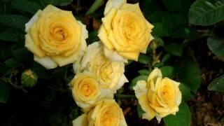 Hồng tiểu muội vàng hoa chùm Sa Đéc (ngày 22/01/2017)