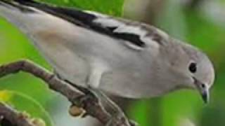 Karakteristik dan Ciri Fisik Burung Jalak Kapas