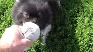 Vicious Pomeranian Training To Rip Intruders Faces Off! (german Shepherds Fear For Job Security!)