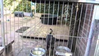 Airedale Terrier Welpen Von Erikson - 6 Wochen Alt - Schnuppern überall Umher