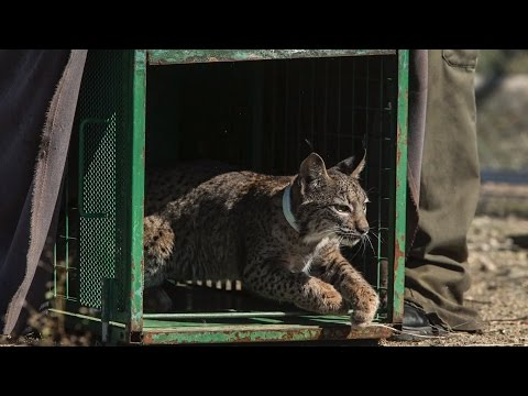 Wex Pro | Luke Massey: Iberian Lynx, Part 4