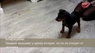 Тестирование щенка. Немецкий пинчер. Налаекс Треже Зилейлин
