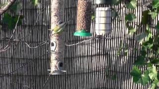 Garden Birds On The Feeding Stations 02/02/14