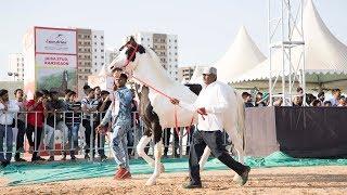 Marwari stallion vs stallion Breeding show